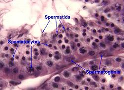 spermatogenia