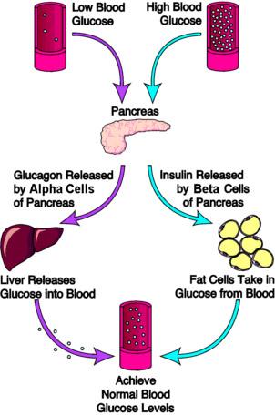 insulin-vs-glukagon