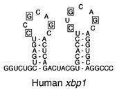 human-xbp1
