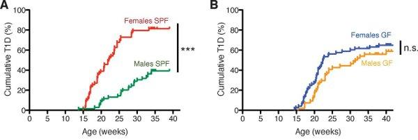Рис. 3. Процент заболеваний аутоиммунным диабетом первого типа у мышей, содержавшихся в условиях отсутствия патогенов (А) или в полностью стерильных условиях (В). Видно, что в условиях отсутствия патогенов к возрасту 40 недель заболевает в два раза меньше самцов (зеленая кривая), чем самок (красная кривая). При содержании в полностью стерильных условиях самцы (желтая кривая) заболевали так же часто, как и самки (синяя кривая). Такой высокий процент заболеваний объясняется тем, что исследования велись на особой линии лабораторных мышей, склонных к заболеванию аутоиммунным диабетом первого типа (линии NOD). Рисунок из обсуждаемой статьи в Science